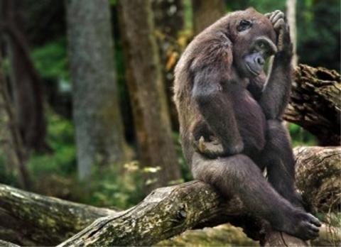 gorillaepensiero